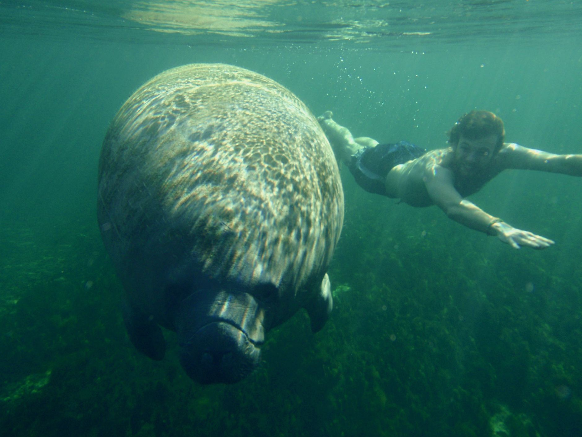manatee facts, manatee information, seacow facts |Manatees Playing